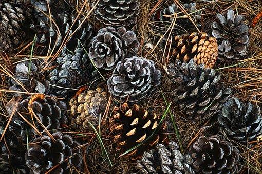 Pine Cones, Fall, Autumn, Pine, Forest Floor