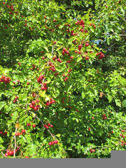 Rosehips, Tree, Bush, England, Garden, Nature, Berries