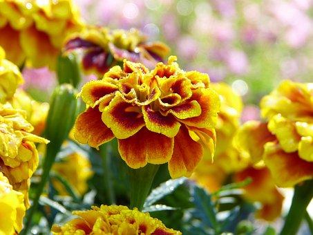 Marigold, Flower, Garden, Dew, Drop Of Water, Orange