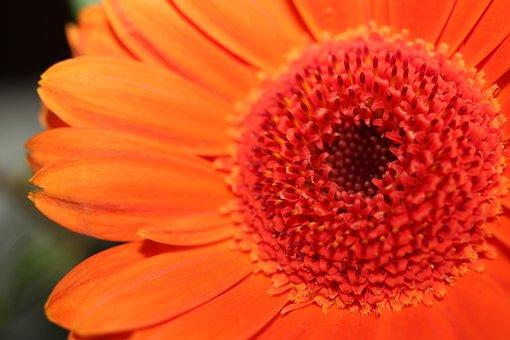 Gerbera, Flower, Plant, Transvaal Daisy, Petals