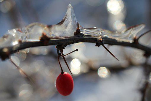 Winter, Bush, Red Berry, Ice, Thorns, Cold, Branch