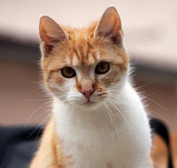 Cat, Kitten, Tabby, Tabby Cat, Kitty, Feline, Looking