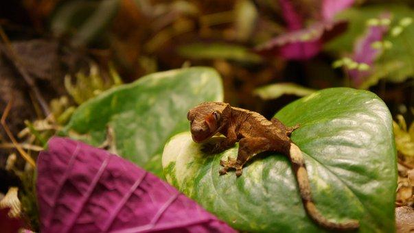 Gecko, Lizard, Reptile, Baby Gecko, Crested Gecko