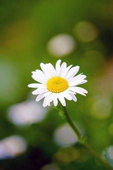 Daisy, Flower, Blossom, Bloom, Marguerite, White Flower