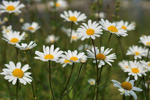 Flowers, Nature, Daisies, Spring