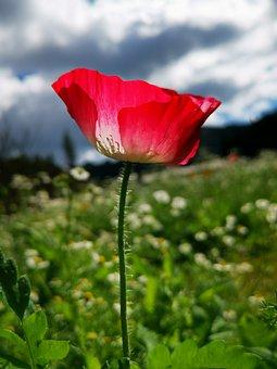 Poppy, Red Poppy, Red Flowers, Nature, Flower, Flora