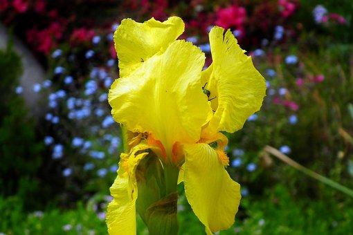 Iris, Flower, Yellow, Plant, Spring, Garden, Nature