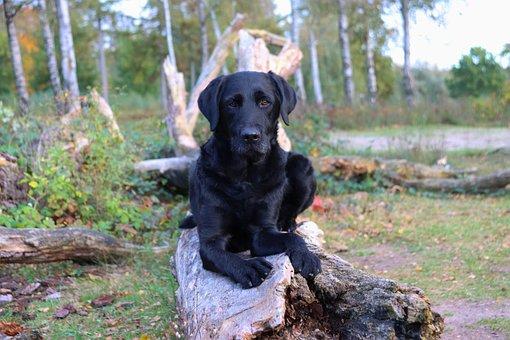 Dog, Labrador, Canine, Pet, Domestic, Tree Trunk