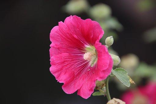 Hollyhock, Flower, Pink Flower, Petals, Pink Petals