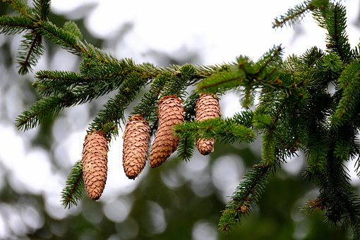 Pine Cones, Branch, Tap, Tree, Needles, Leaves, Conifer