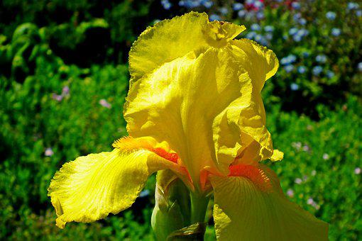 Iris, Flower, Yellow, Nature, Plant, Spring, Garden