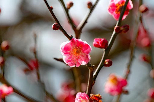 Plum Blossoms, Spring Flowers, Plum, Spring, Nature