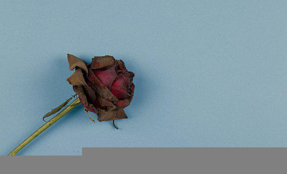 Rose, Dried Flower, Background, Red Rose, Red Flower