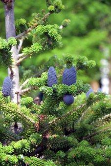 Spruce Cones, Spruce, Conifers, Evergreen, Pine Cones