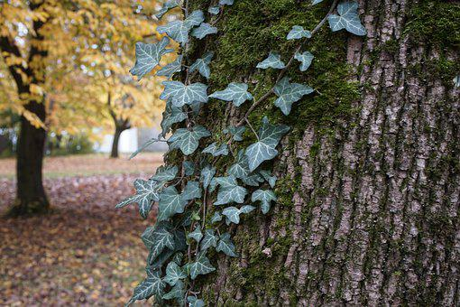 Tree, Trunk, Ivy, Bark, Moss, Mossy, Leaves, Ivy Leaves