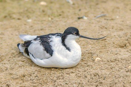 Bird, Avocet, Nature, Wader, Beak, Wildlife, Plumage