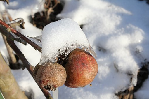 Apple Tree, Apple, Branch, Withers, Winter, Snow
