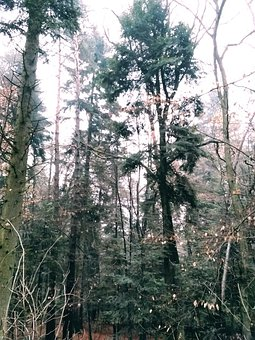 Trees, Forest, Woods, Woodlands, Undergrowth, Foggy