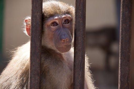 Monkey, Bars, Animal, Freedom, Prison, Zoo, Caught