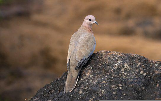 Dove, Bird, Rock, Perched, Pigeon, Animal, Feathers