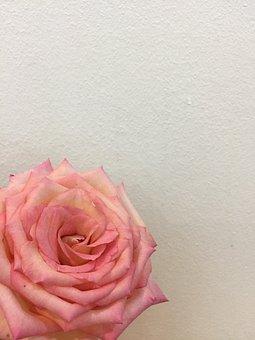 Rose, Pink, Flower, Love, Bloom, Blossom, Floral