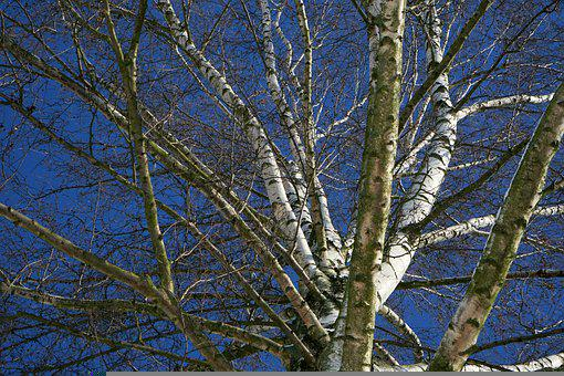 Tree, Birch, Sky, Blue, Nature, Landscape, Bark