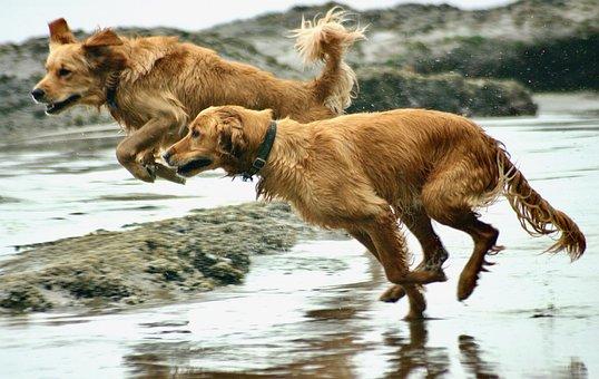 Dogs, Canine, Beach, Sand, Golden Retriever, Playful