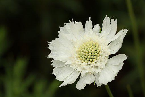 Flower, Plant, Garden, Caucasian Pincushion Flower
