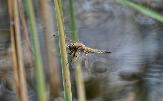 Dragonfly, Insect, Wings, Creature, Nature, Close Up