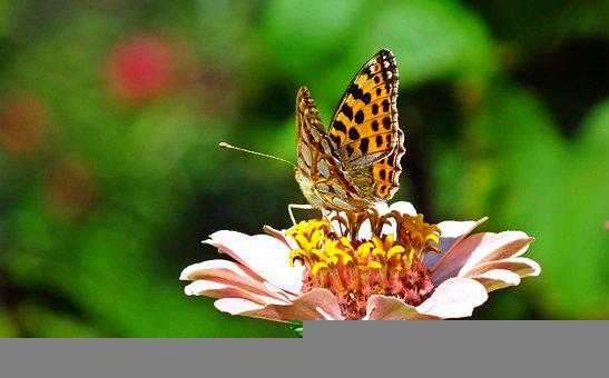 Butterfly, Insect, Flower, Zinnia, Closeup, Nature
