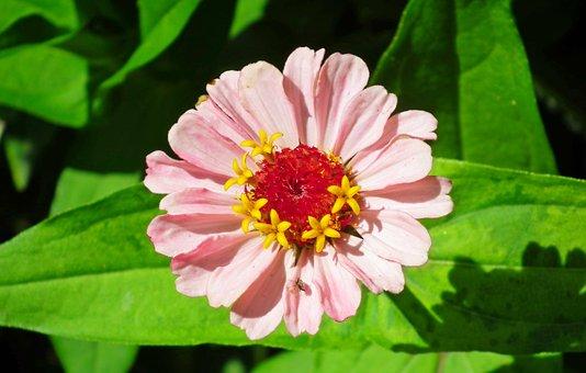 Zinnia, Flower, Pink, Plant, Garden, Nature, Closeup