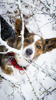 Corgi, Dog, Snow, Pembroke Welsh Corgi, Pet, Animal