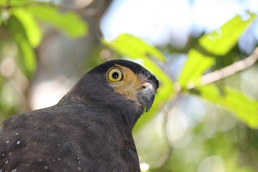Crested Serpent Eagle, Birds, Raptor, Eagle, Predator