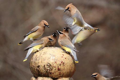 Birds, Flock, Fountain, Cedar Wax Wings, Backyard