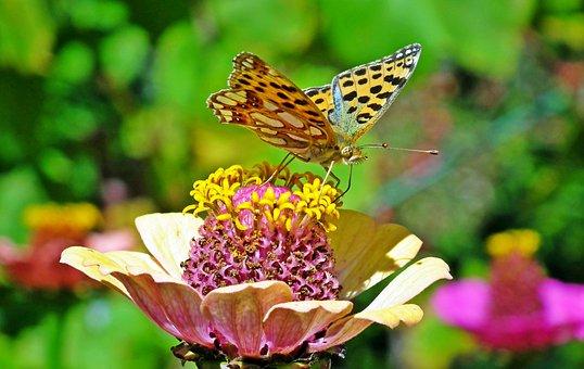 Butterfly, Insect, Flower, Zinnia, Nature, Zwierząta