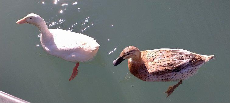Duck, Animal, Fly, Water, Swimming, Plumage, Nature