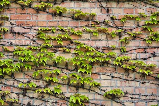 Ivy, Creeper, Wall, Foliage, Plant, Decoration, Climber