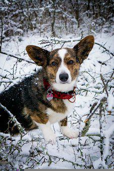 Dog, Corgi, Canine, Snow, Fun, Race, Pet, Animal