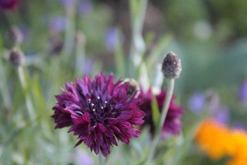 Purple, Cornflower, Flower, Garden, Wildflower