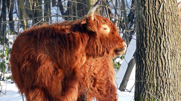 Winter, But, Snow, Scottish Highlander, Cow, Holland