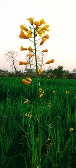 Mustard Plant, Berseem Fodder, Mustard Flower, Flower