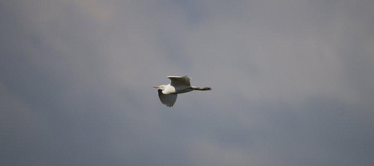 Nature, Flight, Ave, Great Egret, Colombia