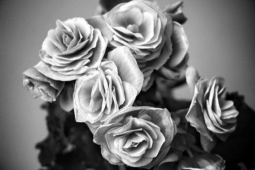 Begonias, Flowers, Plant, Decorative, Nature