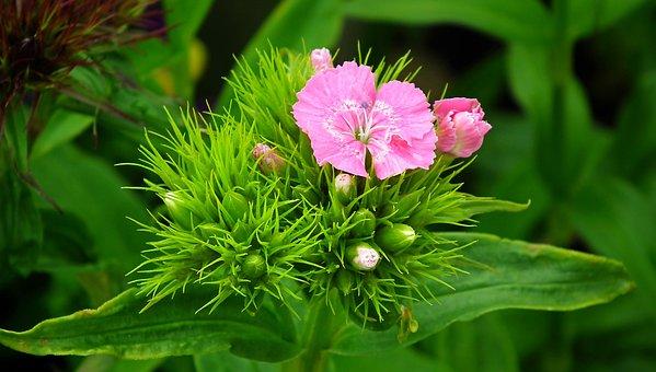 Gożdziki, Stone, Pink, Garden, Nature, Flowers, Closeup
