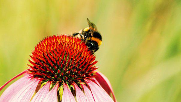 Bee, Insect, Coneflower, Bumblebee, Animal, Nectar