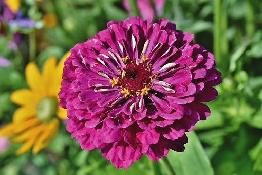 Flower, Zinnia, Petals, Blossom, Bloom, Plant
