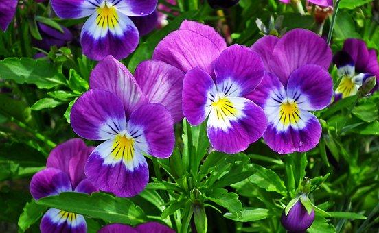 Pansies, Flowers, Garden, Spring, Plants, Violet