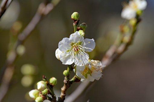 Plum Blossoms, Spring Flowers, Plum, Spring, Nature