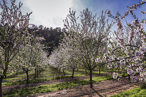 Fruit Trees, Orchard, Rural, Trees, Flowers, Plantation