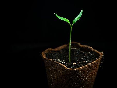 Chili, Seedling, Plant, Chili Pepper, Leaves, Pot